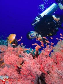 Coral fan gili air divers plongee Gili Air  Divers - Gili Meno Divers Gili Trawangan Lombok Bali Indonesia