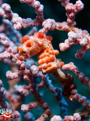 Pigmy Seahorse Gili Air Divers Plongee Gili Air  Divers - Gili Meno Divers Gili Trawangan Lombok Bali Indonesia