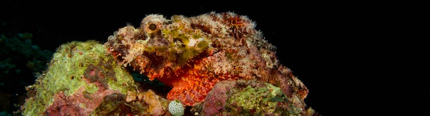 SCORPION FISH Gili Air DIvers Gili Air  Divers - Gili Meno Divers Gili Trawangan Lombok Bali Indonesia