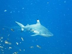 black tip reef shark gili air divers diving