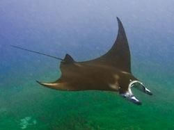 Manta Ray  Point Gili Air DIvers (1 sur 1)