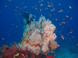 Seafan coral fan garden Gili Air DIvers (1 sur 1)